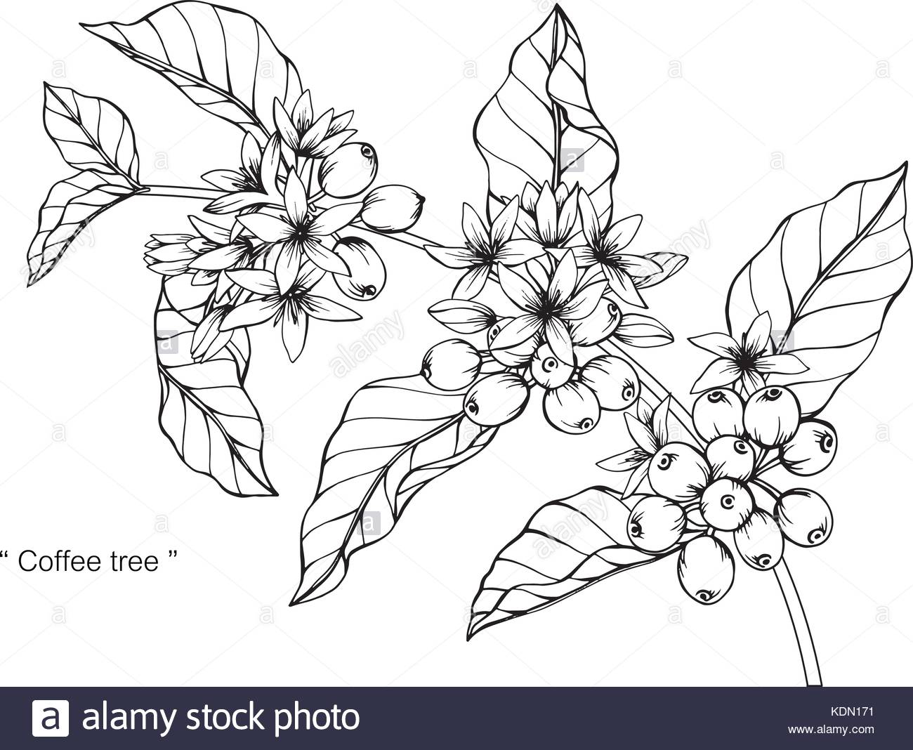 1300x1068 Coffee Tree Drawing Illustration. Black And White With Line Art