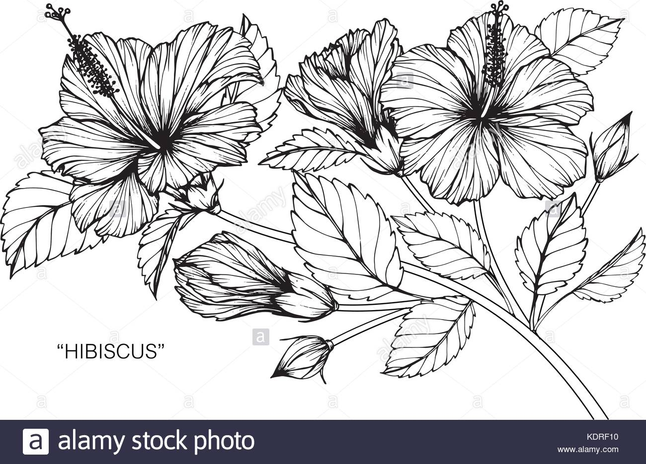 1300x935 Hibiscus Flower Drawing Illustration. Black And White With Line
