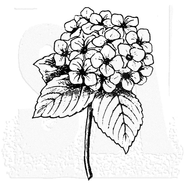 Black And White Hydrangea Drawing