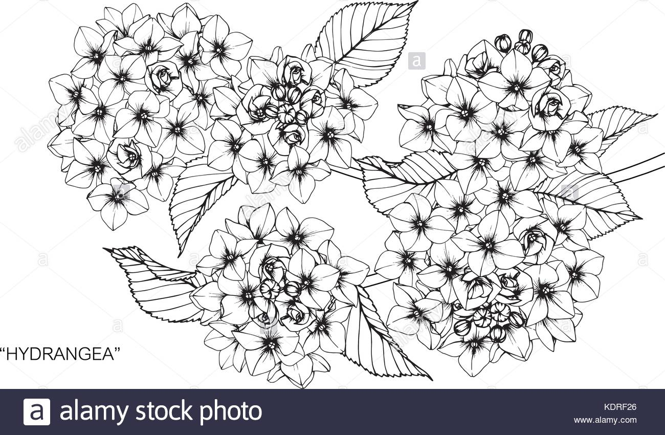 1300x850 Hydrangea Flower Drawing Illustration. Black And White With Line