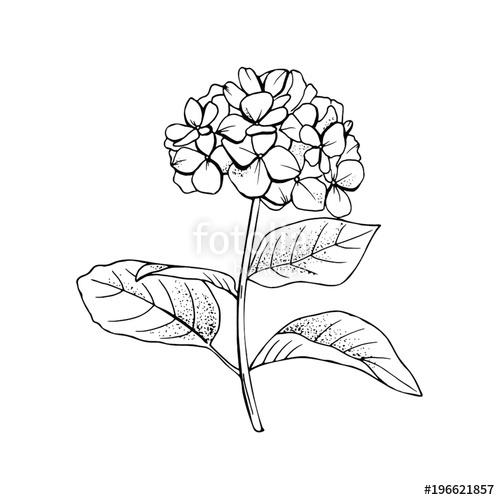500x500 Hand Drawn Hydrangea Flower Drawing Line Art.vector, Illustration