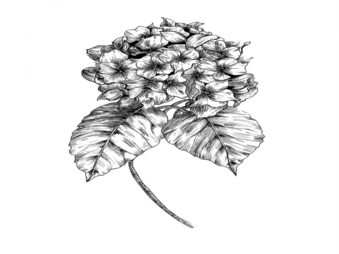1152x864 Hydrangea Coloring Pages White Drawing Line Sketch Page