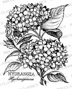 236x291 Hydrangea Drawing Liz Reed.co.uk Ltbgthydrangealtgt 3 Copy