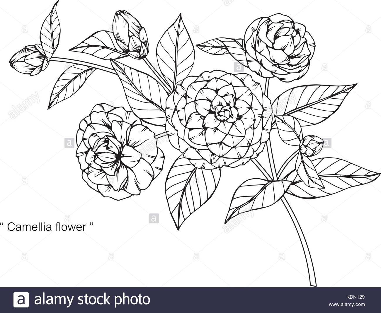1300x1069 Camellia Flower Drawing Illustration. Black And White With Line