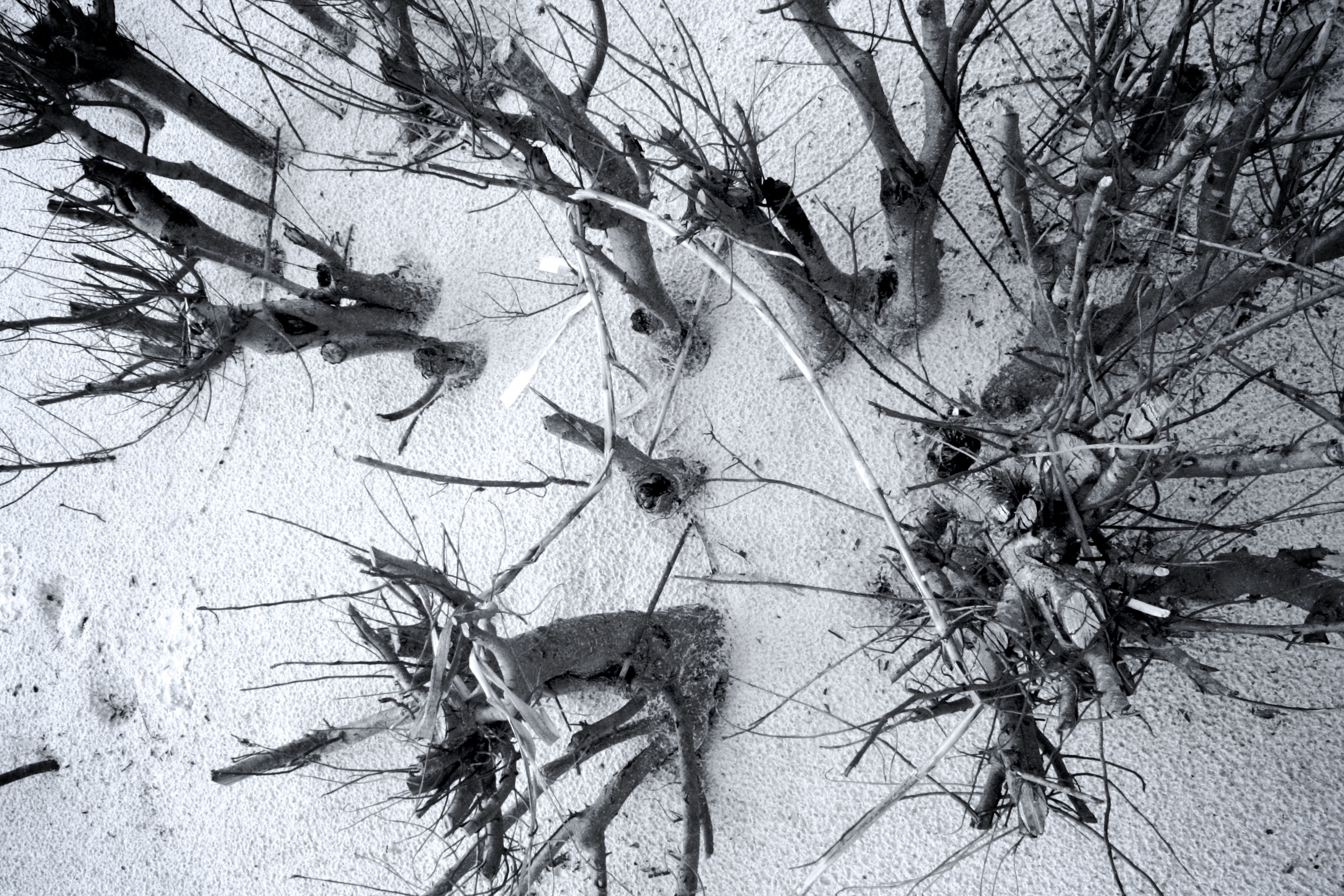 3372x2248 Free Images Tree, Branch, Snow, Winter, Black And White, Leaf
