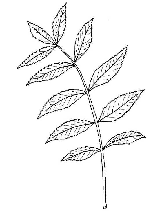 559x730 Biological Drawing Of Ash Leaf Resources For Biology Education