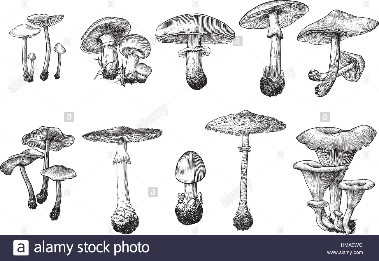 1300x894 Mushroom Collection Illustration Drawing, Engraving, Line Art