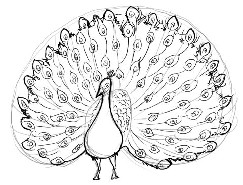 480x366 Drawn Peacock