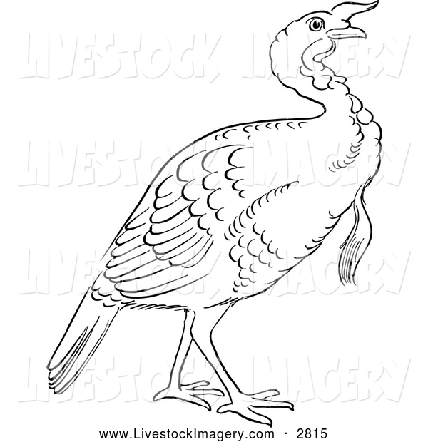 600x620 Clip Art Of A Black And White Gobbler Thanksgiving Turkey Bird By