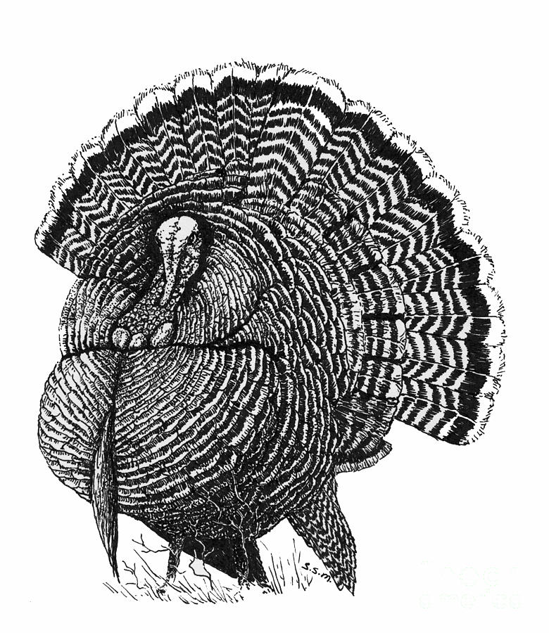 780x900 Strutting Gobbler Drawing By Suzanne Mckee