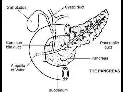 480x360 How Draw Pancreas Diagram