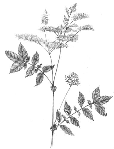 383x500 Lizzie Harper Botanical Illustration Of Meadowsweet Decoration