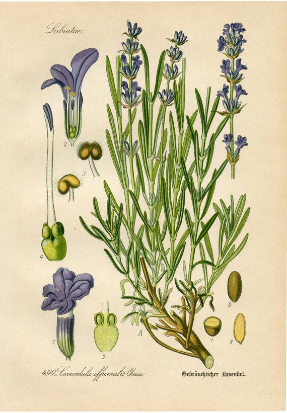 570x821 Lavender Botanical Drawing Lavender Drawing Botanical