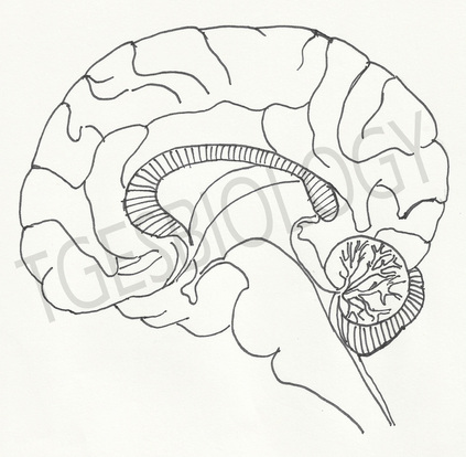 423x414 Drawn Brains Inside Labeled