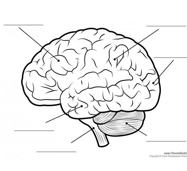 600x550 Label The Brain Diagram Gallery