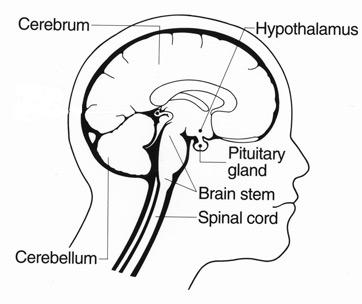 362x304 Photos Brain Diagram Simple Without Labels,