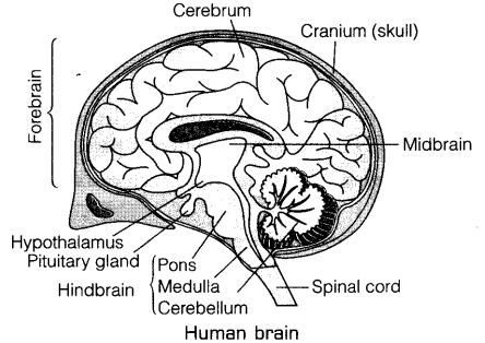 Brain Drawing With Labels At Getdrawings Com