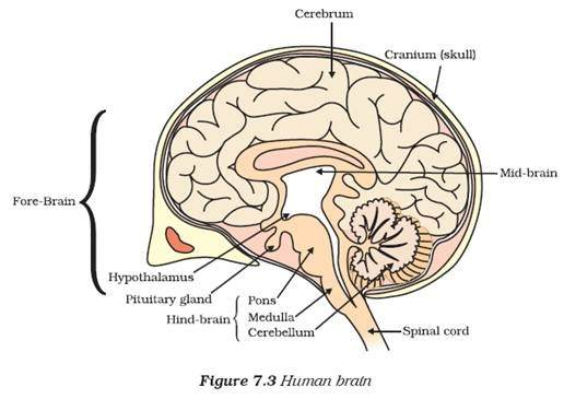 Pictures Of Human Brain With Labels Best Brain 2018