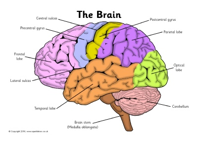Brain Drawing With Labels at GetDrawings | Free download