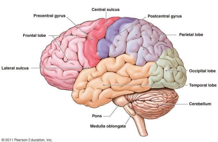 31 Label The Brain Anatomy Diagram - Wiring Diagram Database