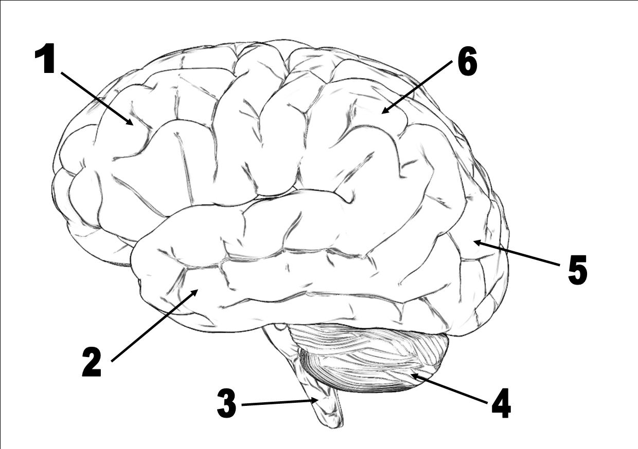 Brain Drawing With Labels At Getdrawings Free For Personal Use