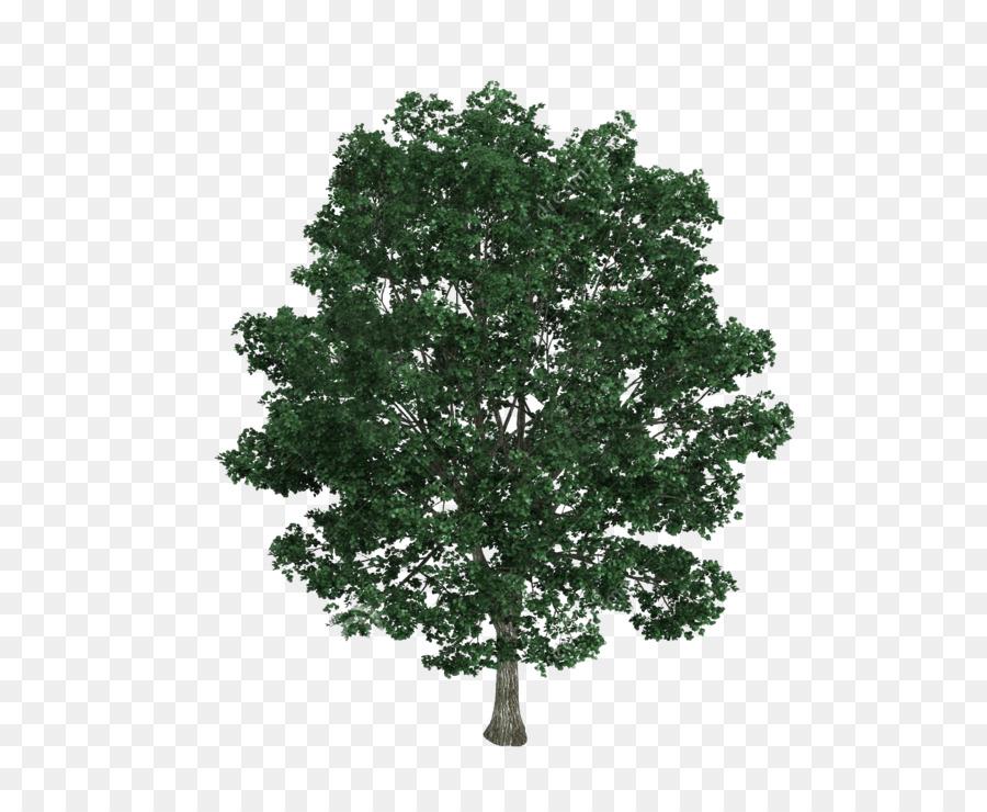 900x740 Tilia Platyphyllos Tree Drawing Royalty Free Illustration