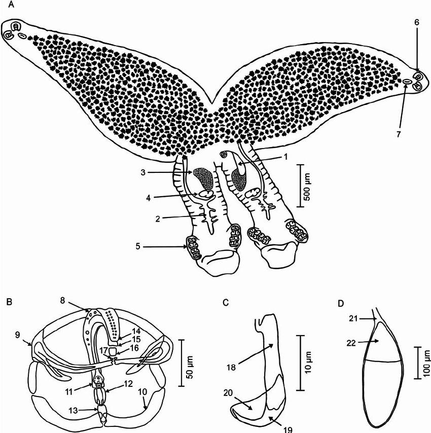 850x854 Paradiplozoon Vaalense N. Sp. (A) Adult Pair (B) Clamp (C) Hook
