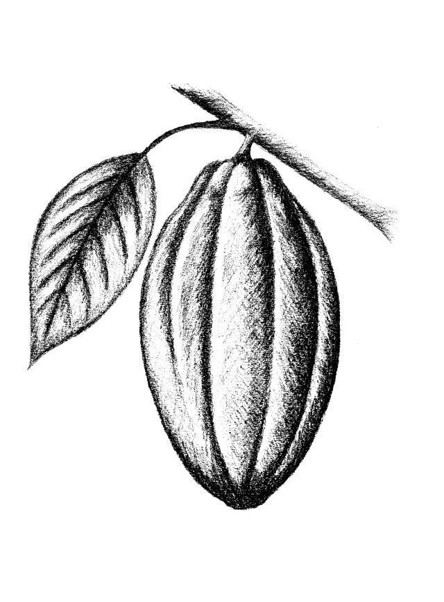 Cacao Drawing