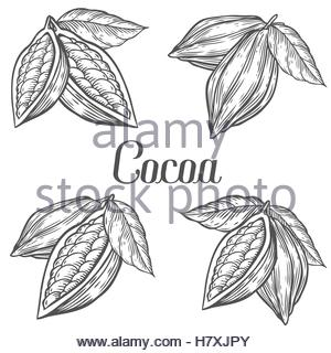 300x320 Cocoa Vector Superfood Drawing Set. Isolated Hand Drawn