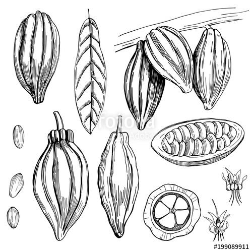 500x500 Hand Drawn Cocoa Bean. Vector Sketch Illustration Stock Image