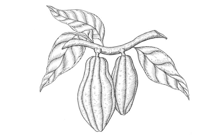 722x454 Cocoa Beans Drawing