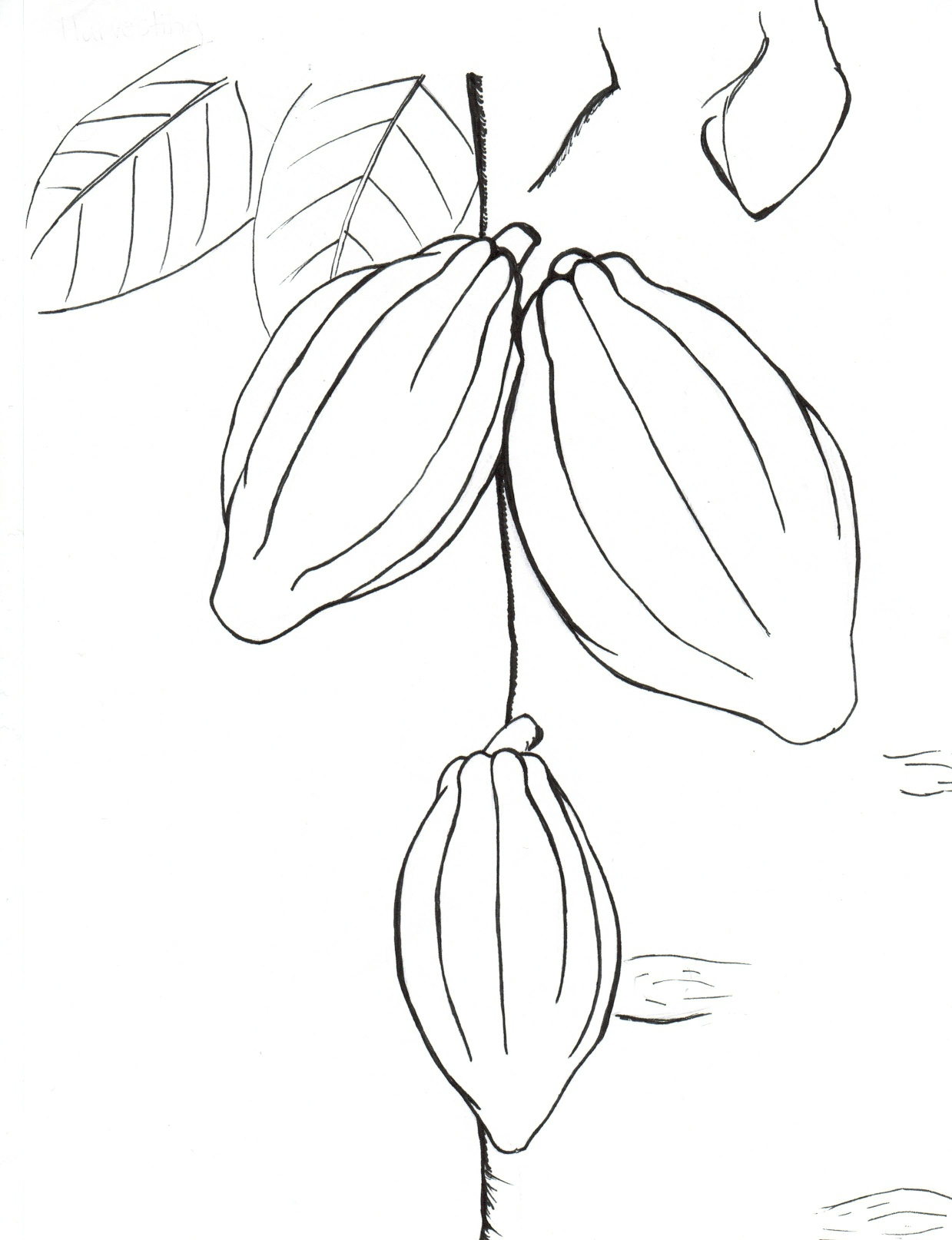 1239x1614 Belize Foundation For Research And Environmental Education Cacao