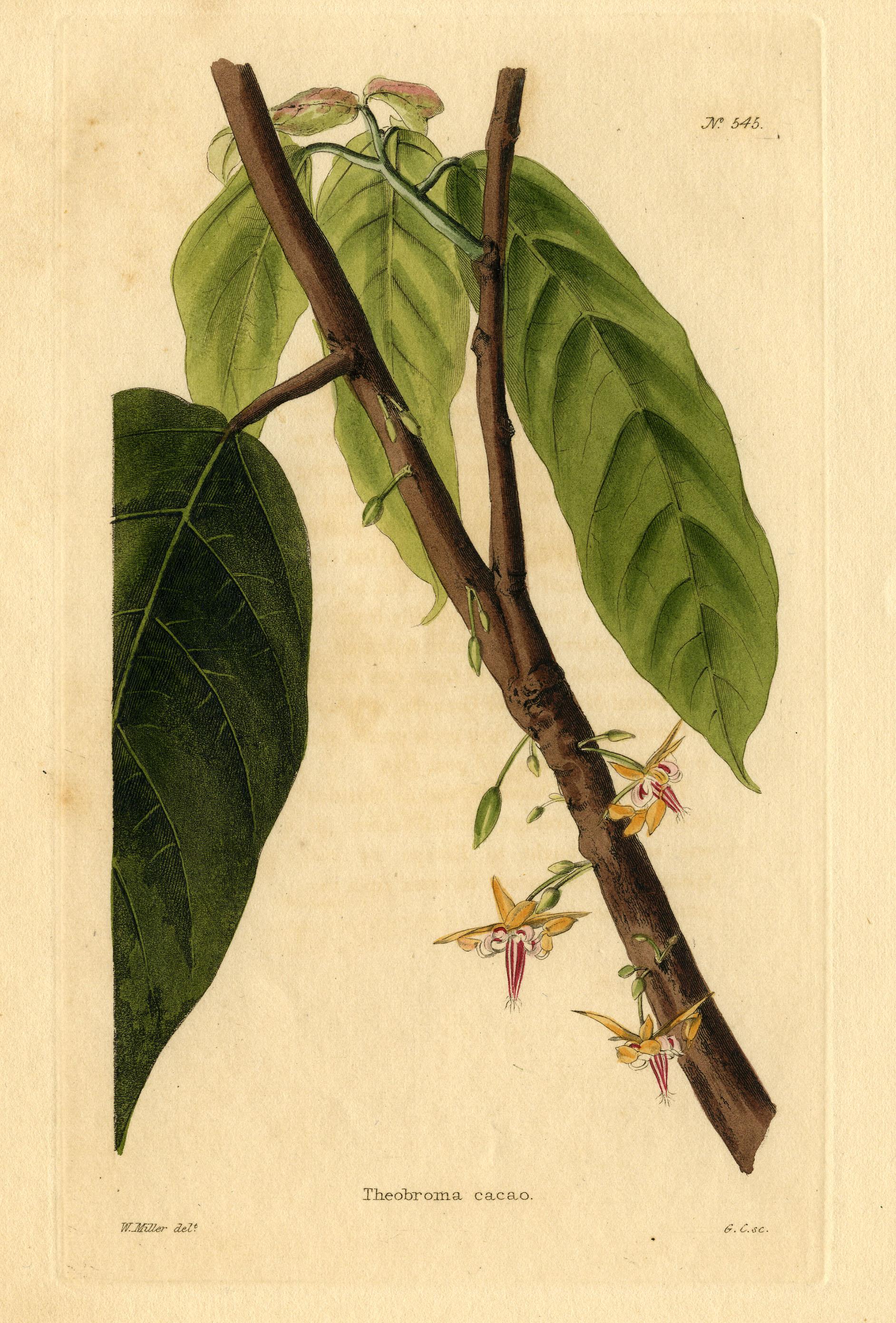 1884x2781 Fileloddiges 545 Theobroma Cacao Drawn By W Miller.jpg