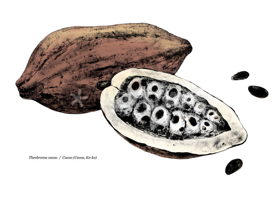 950x671 Theobroma Cacao Cacao (Cocoa, Ko Ko). Drawing Art Prints