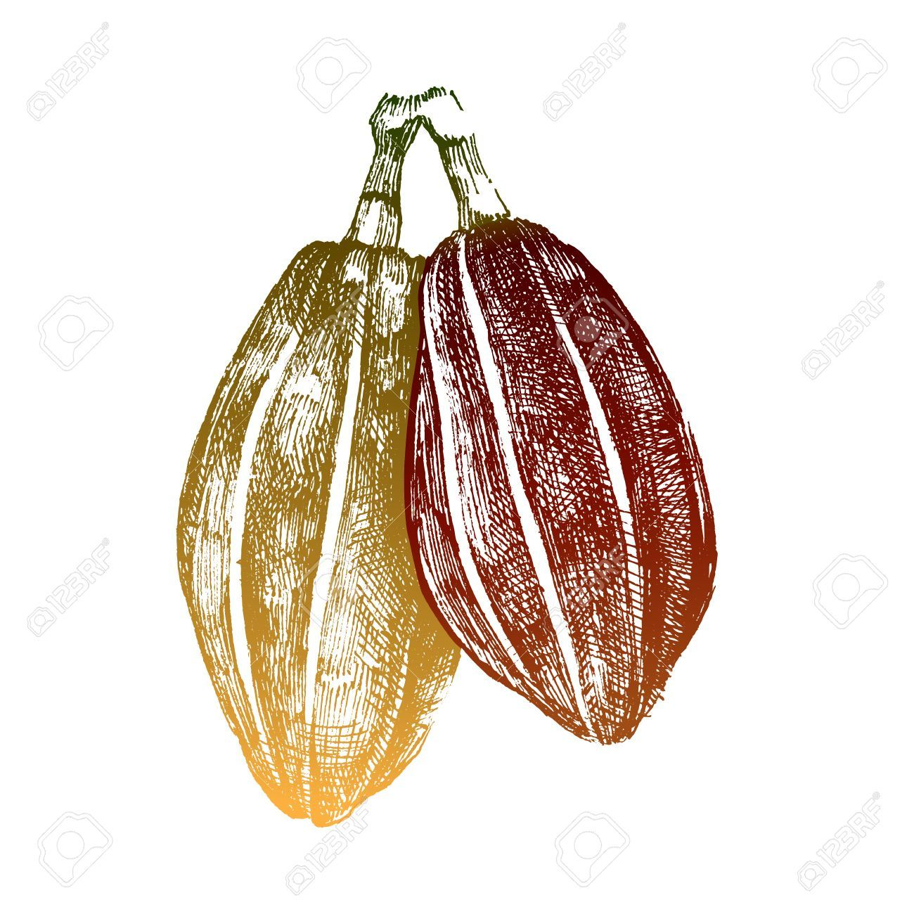 1300x1300 Cocoa Beans Drawing