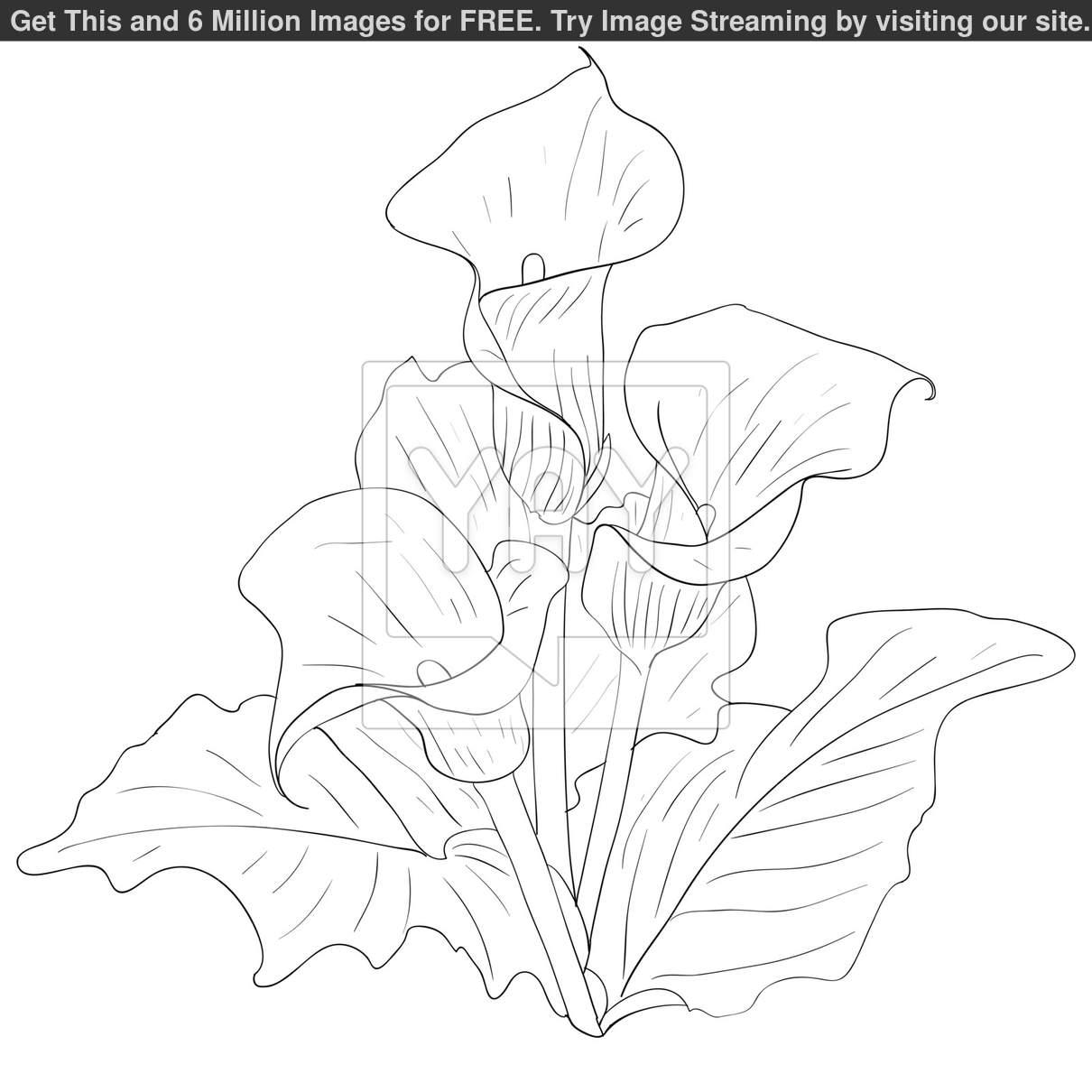 1210x1210 Calla Lily Drawing Pattern