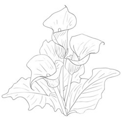 250x250 Collection Of Calla Lily Drawing Pattern High Quality, Free