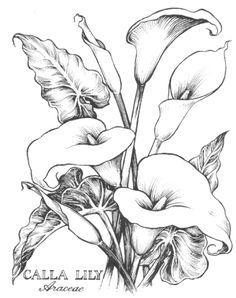 236x298 Cala Lillies In Pencil Calla Lily Botanical Botanik