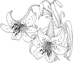 236x204 Calla Lilies Drawing Ltbgtflowersltgt For Gt Ltbgtcalla Lilylt