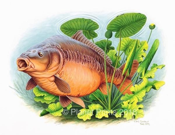 600x463 Image Result For Carp Drawing Fish Carp