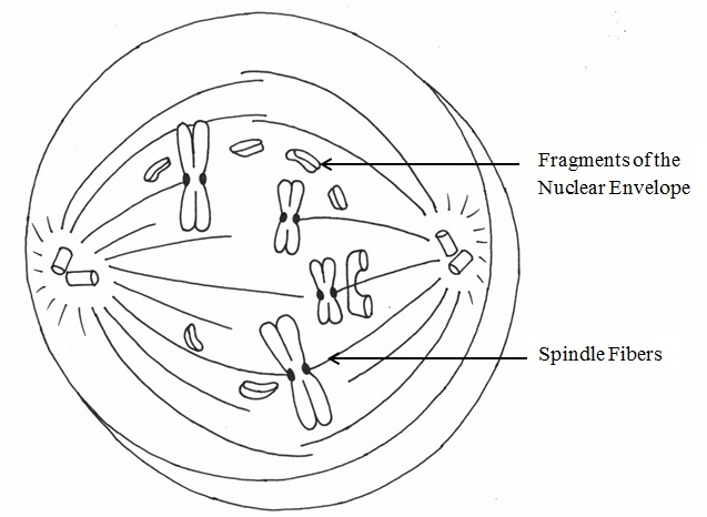Cell Cycle Drawing at GetDrawings.com | Free for personal use Cell ...