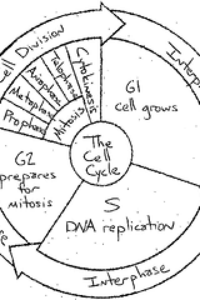 640x960 Cell Cycle Worksheet The Cell Cycle Worksheet The Cell Cycle