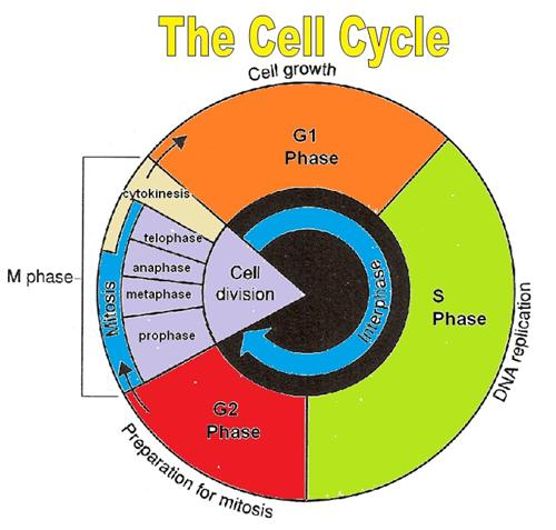 Cell Cycle Drawing at GetDrawings.com   Free for personal ...