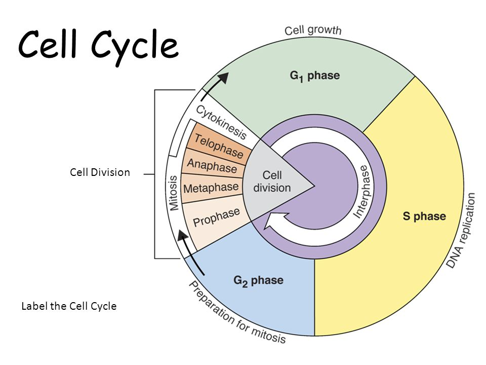 Cell cycle drawing at getdrawings free for personal use cell 960x720 bio daily assignments 960x720 bio daily assignments 800x533 cell division ccuart Images