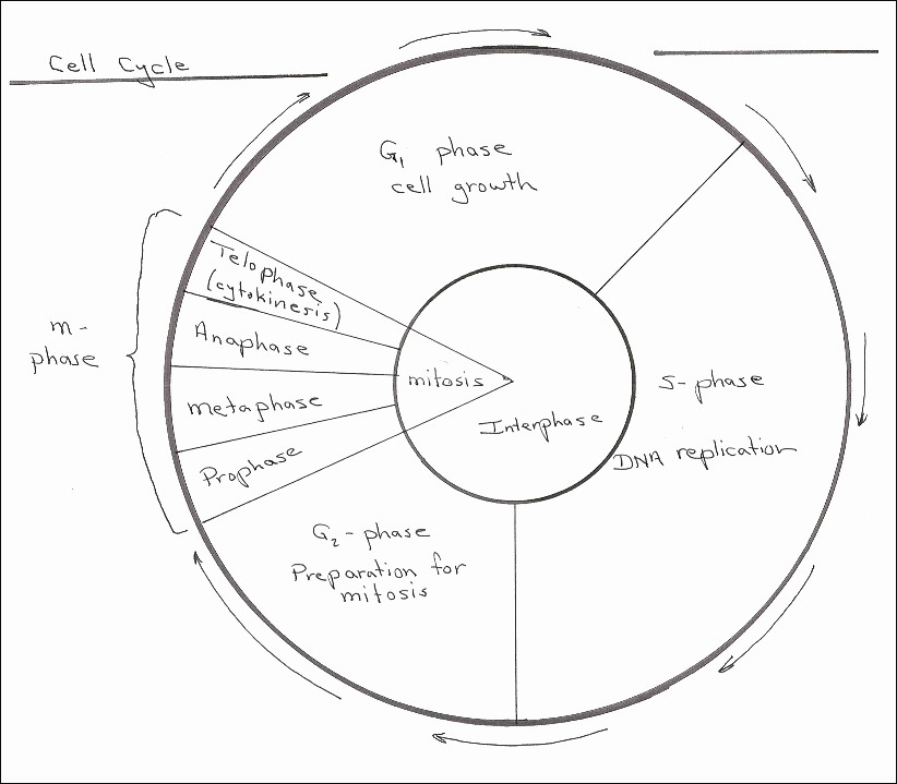 Cell Cycle Drawing Worksheet