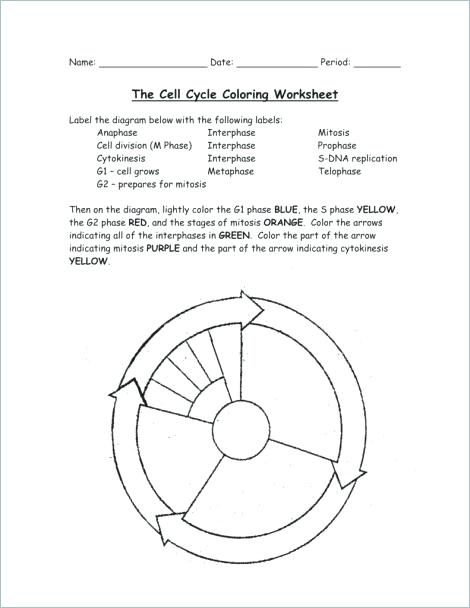 Cell Cycle Drawing Worksheet at GetDrawings.com | Free for personal ...
