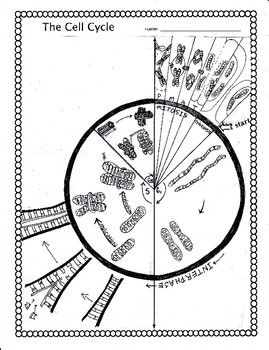 269x350 The Cell Cycle And Mitosis Worksheet By Biology Buff Tpt