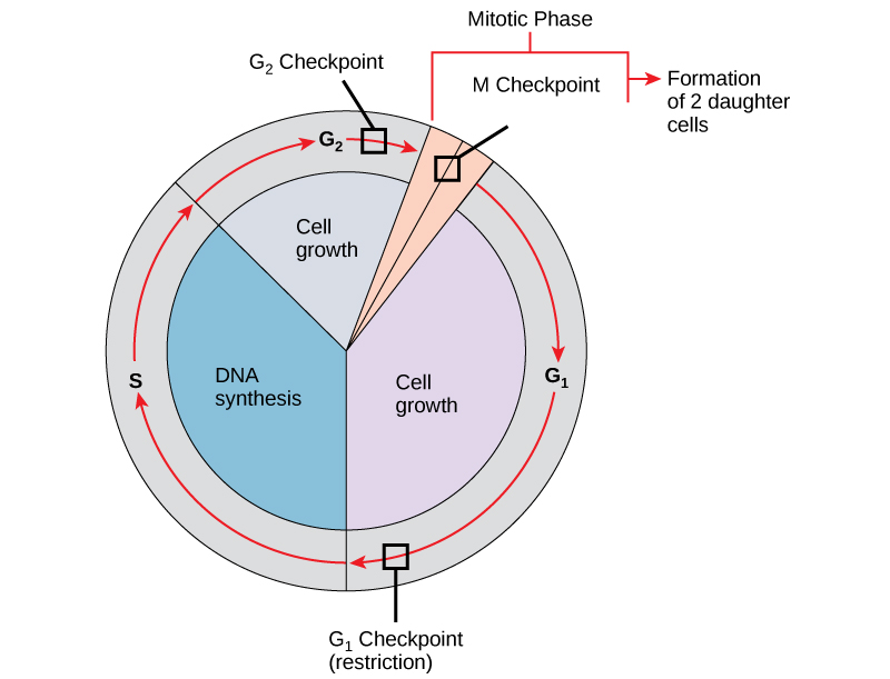 800x611 Mitosis And The Cell Cycle Biology I Laboratory Manual