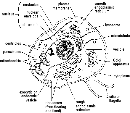 439x382 The Cell And Its Membrane