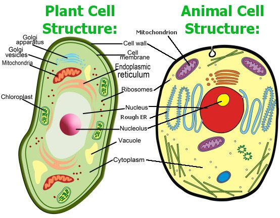 554x432 Animal Cell Model Diagram Project Parts Structure Labeled Coloring